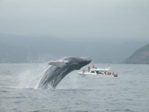 walvis ballena puerto lopez | www.patesserie.com
