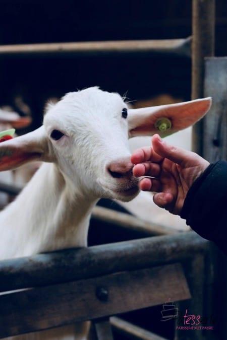 Bladerdeegtaart met geitenkaas en peer, bettine geitenkaas, geitenboerderij de hoon, patesserie.com